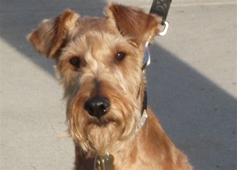 rescue california rosie in southern california adopted terrier rescue network
