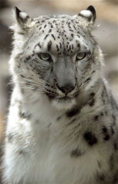 reset nvram snow leopard what s new at the zoo snow leopards monkeys and a fossa