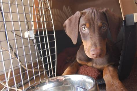 puppy ear cropping near me ear cropping professional in near los angeles doberman forum doberman breed