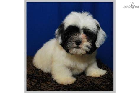 shih tzu poodle mix cost shih poo shihpoo puppy for sale near mcallen edinburg 24d1ba67 3521
