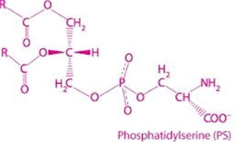 rainbow light brain and focus multivitamin side effects phosphatidylserine ingredient phosphatidylserine