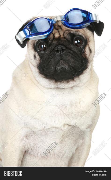 hund für wohnung lustige mops hund in blau brille f 195 188 r ein tauchen