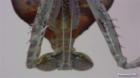 Zemma Maxy dead leaf mantis molt