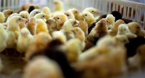 Mesin Penetas Telur Ayam Ras cara ternak ayam ternak ayam petelur skala kecil