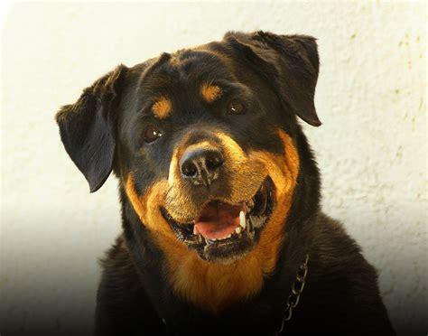 rottweiler language gratis foto rottweiler hond gratis afbeelding op pixabay 687073