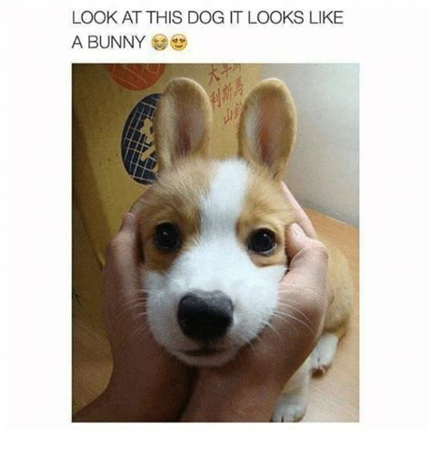 like a bunny 25 best memes about look at this dog look at this dog memes