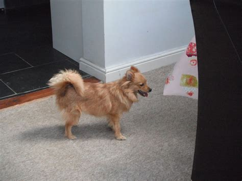 6 month pomeranian puppy 6 month pomeranian gloucester gloucestershire pets4homes