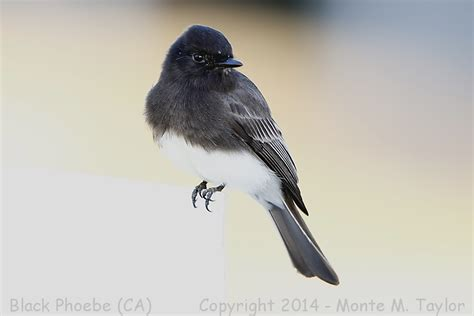 black and white bird california black phoebe