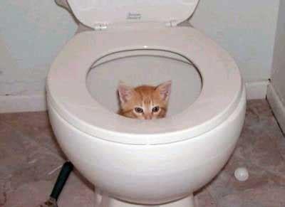beat my on the toilet seat toilet kitten cat health behavior