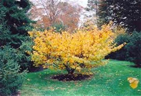 amazon com witch hazel tree 3 feet tall patio lawn garden