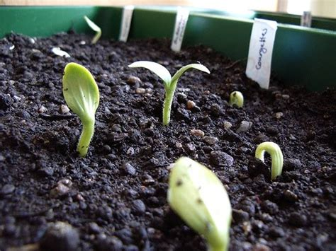 10 Seed Benih Zucchini Kys the garden of eaden may 2010