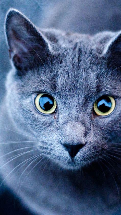 wallpaper blue cat 720x1280 blue cat green eyes galaxy s3 wallpaper