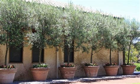 olea europa olive tree groupon goods