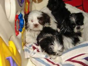 shih tzu breeders nh shih tzu puppies in new hshire