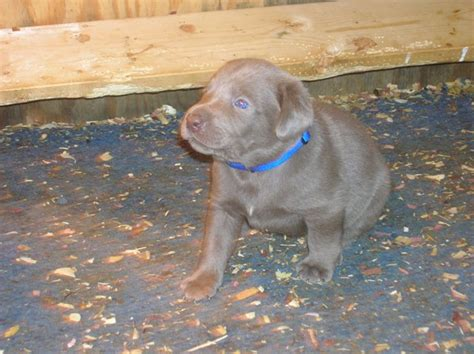 silver lab puppies for sale in nc silver labrador puppies for sale in pa greenfield puppies breeds picture