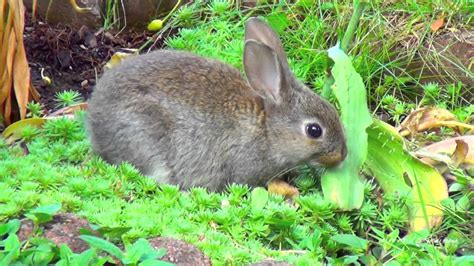 backyard rabbit small bunny rabbit in my backyard youtube