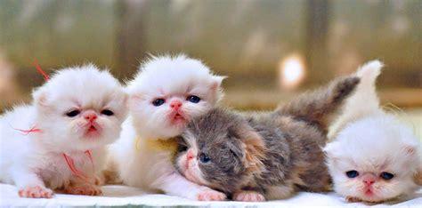 Sisir Kucing Anggora cara membersihkan kucing anggora grooming