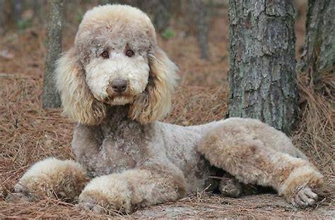 poodle colors oodles of poodles poodle colors silver beige sources 1