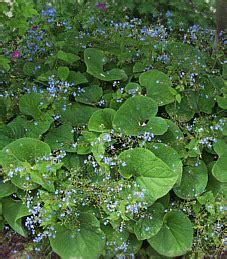 stauden stöcker kaukasusvergi 223 meinnicht brunnera macrophylla
