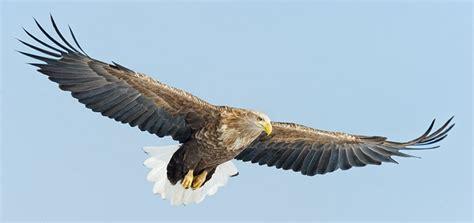White Tailed Eagle Wingspan