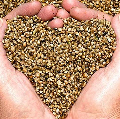 seed for sale marijuana seeds for sale and growing tips