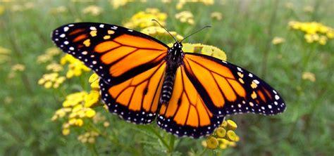 imagenes una mariposa 191 c 243 mo es la vida de una mariposa desarrollo y esperanza