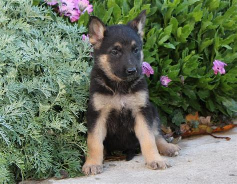 german shepherd puppies maine german shepherd puppies maine best wallpaper hd images for pc and mobile page 3 of 4