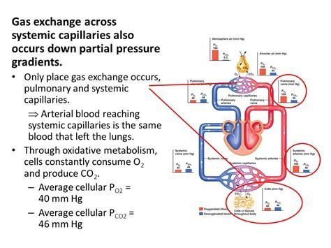 pressure in alveoli gas exchange bing images pressure in alveoli gas exchange bing images