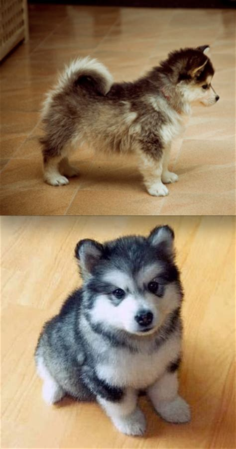 husky puppies for sale in md pomsky puppies for sale baltimore md breeds picture