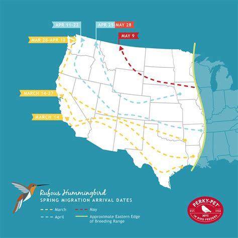 rufous hummingbird migration