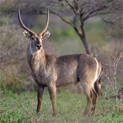 buck buck waterbuck