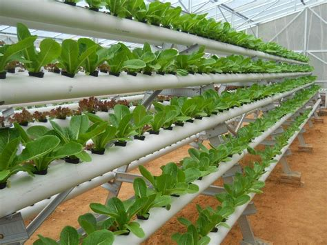 Bibit Terong Jepang solusi berkebun tanpa tanah agrikultur