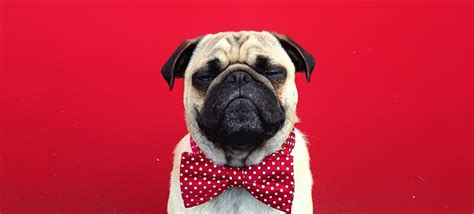pug photography pictures demilked