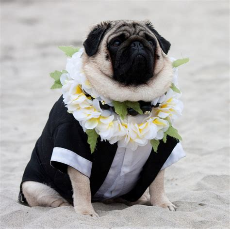 clothes with pugs on them 22 pugs who dress to impress for every occasion barkpost