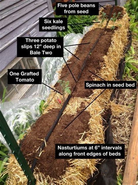 Straw Bale Garden Layout 25 Best Ideas About Straw Bale Gardening On Pinterest Hay Bale Gardening Bales Of Straw And