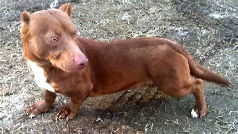 Pitbull Dachshund Mix Up For Adoption Goes Viral On Air Fox News