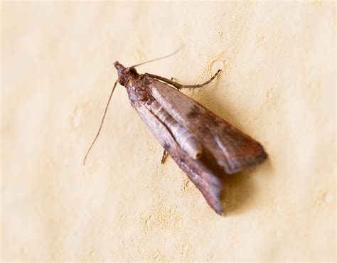 Food Pantry Moths by How To Deal With Pantry Pests Tomlinson Bomberger