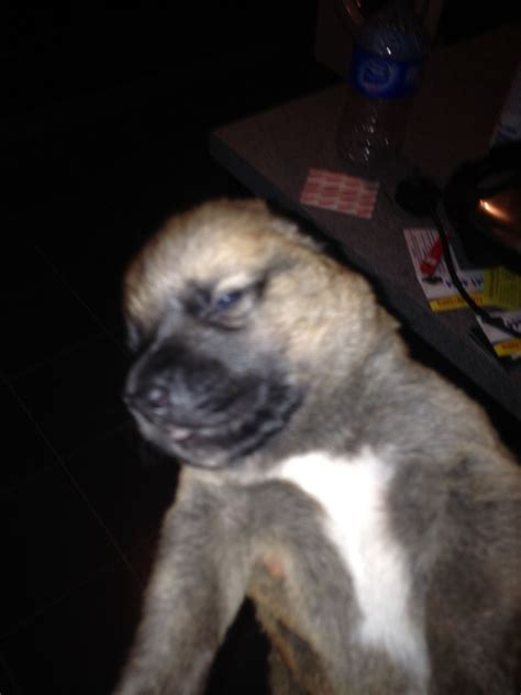 boxer x rottweiler puppies boxer x rottweiler x akita puppies for sale birmingham west midlands pets4homes