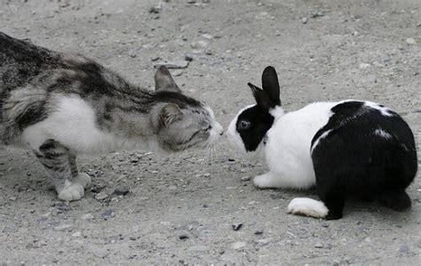 cosa mettere nella gabbia coniglio convivenza tra coniglio e gatto come gestirla