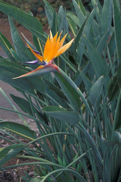 fiore tropicale strelitzia
