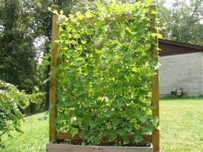 Trellis In Garden Growing Watermelon Cucumber And Melons Vertically