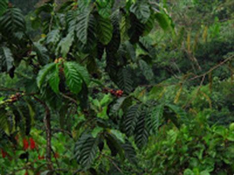 pohon kopi adri s journal 2nd training session hamberang to cisadon