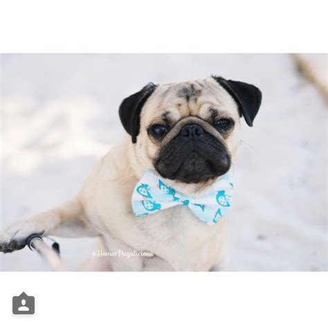 is a pug the right for me the most photogenic pugs on instagram unbelievab ly