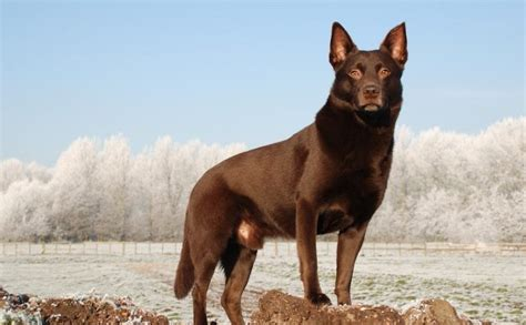 kelpie breed australian kelpie breed information and images k9 research lab