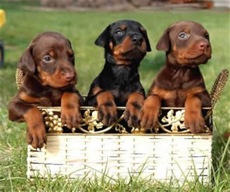 doberman pinscher puppy price buy sell adopt doberman puppies in india pets world
