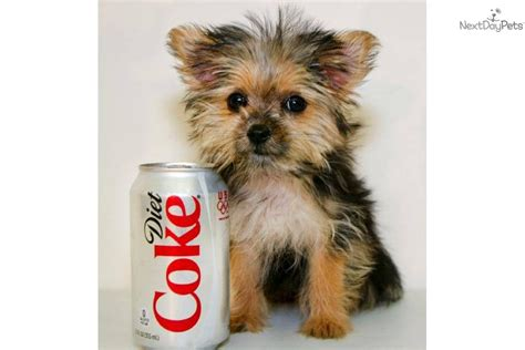 4 pound yorkie 6 pound yorkie related keywords suggestions 6 pound