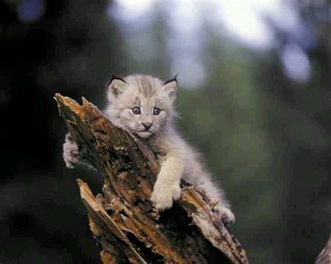 canada lynx canadian lynx kitten canadian lynx kitten