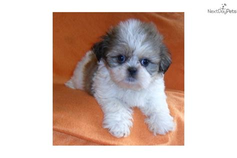 ohio shih tzu breeders shih tzu scottish terrier mix pomsky picture breeds picture