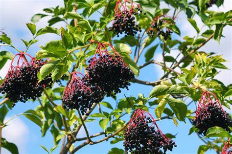 grow l for plants growing elderberries how to grow elderberry plants