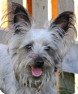 miniature schnauzer yorkie mix mini terrier adoption breeds picture
